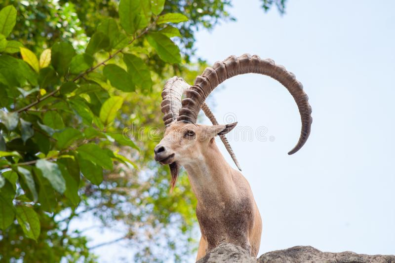 Male Ibex on a cliff showing side profile and full large horns and beard against blue sky stock photography