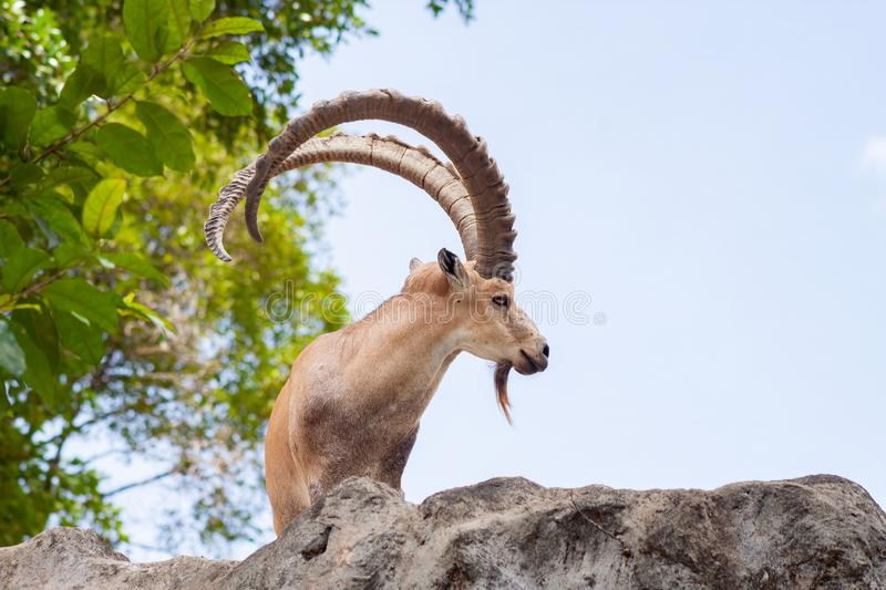 Male Ibex on a cliff showing side profile and full large horns and beard against blue sky royalty free stock photography