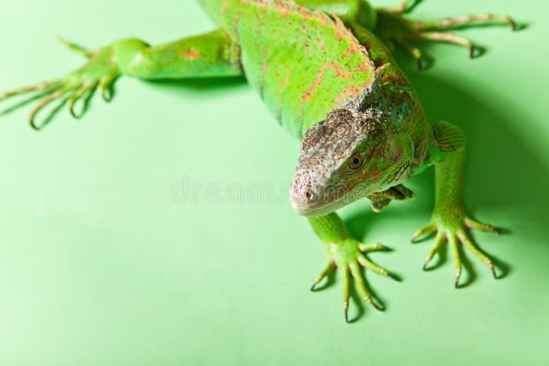 Male iguana over green background royalty free stock photo