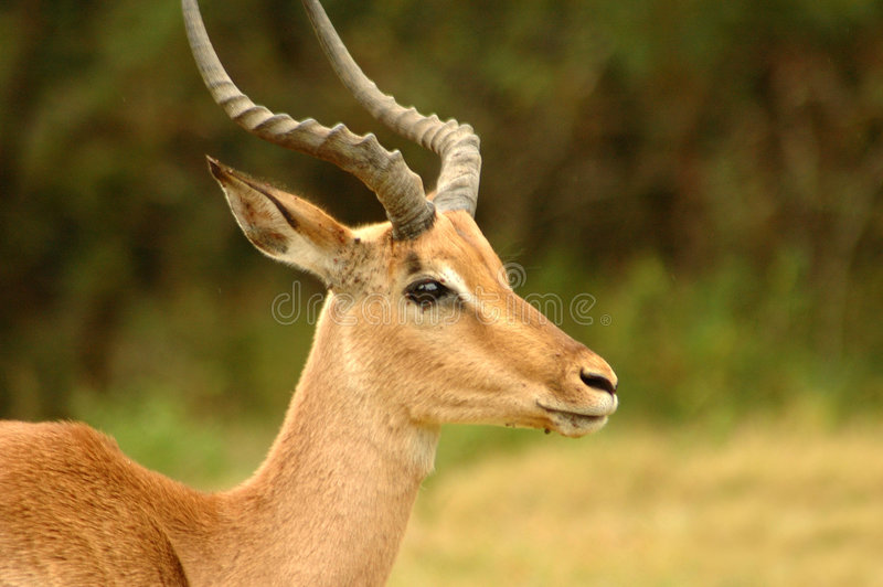 Download Male impala stock photo. Image of view, stood, countryside - 3726664