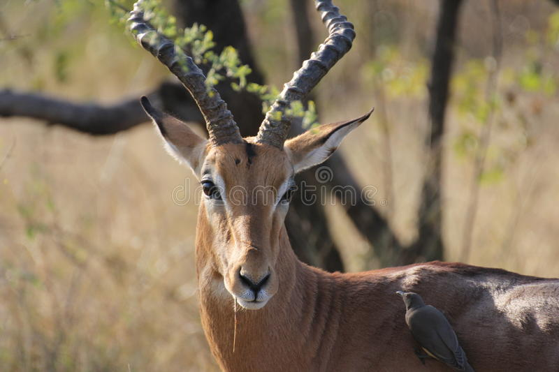 Male impala with bird royalty free stock images