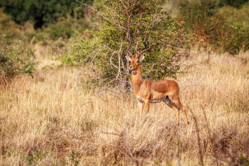 Download Male Impala Starring At The Camera. Stock Photo - Image: 83719140