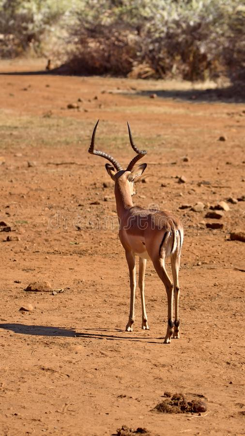 Impala by a watering hole. Male impala by a watering hole in Pilanesberg National Park, North West Province, South Africa stock photography