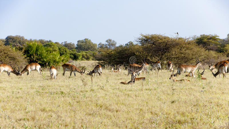 Male impalas awaking royalty free stock photo