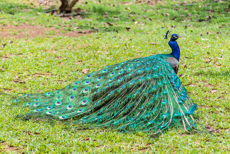 Male indian peacock Pavo cristatus with folded tail. Beautiful male indian peacock Pavo cristatus with folded tail in the Casela Park, Mauritius stock images