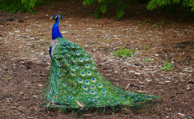 An Indian male Peacock with its beautiful Tail Feathers. A male indian peacock trailing its feathers which are known as a train.it consists not of tail quill royalty free stock photo
