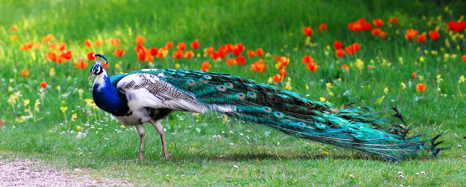 Male Indian Peafowl. Closeup male Indian Peafowl (Pavo cristatus) of profile in garden with tulips in the background royalty free stock photo