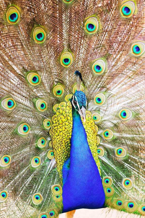 Male Indian Peafowl with beautiful feather. Closeup of Male Indian Peafowl with beautiful feather at tail stock photos