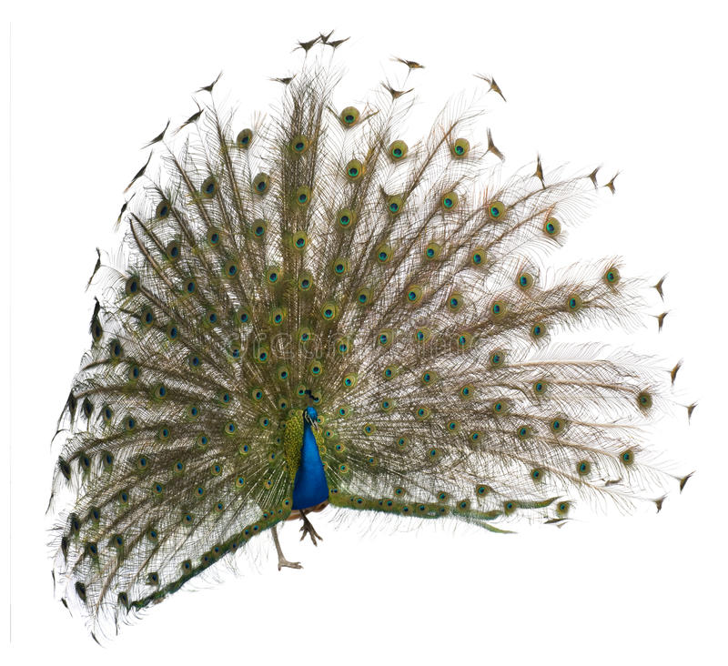 Male Indian Peafowl displaying wheel. Front view of a male Indian Peafowl displaying wheel against white background stock images