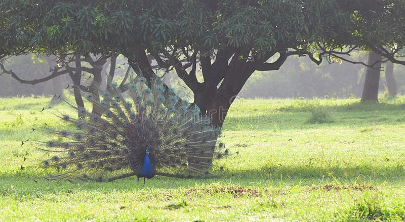 A Male Indian Peafowl - Peacock - Pavo Cristatus - Dancing under a Mango Tree in a Grass Field in an Indian Village stock photos