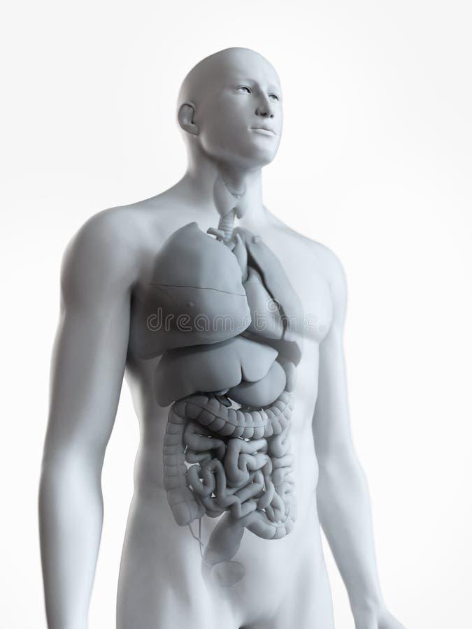The male internal anatomy royalty free illustration