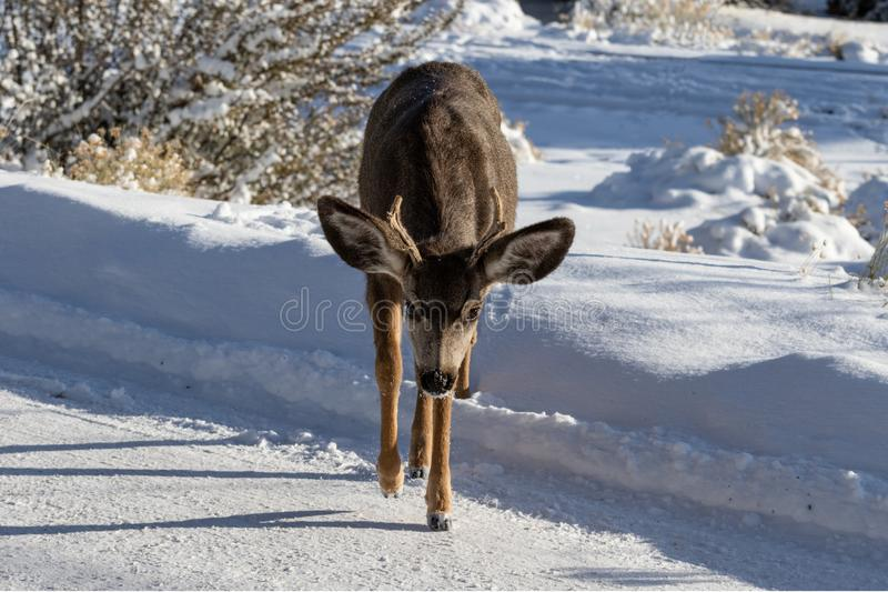 Male Kaibab deer mule deer with antlers, walking towards camera. Snow in background. Male Kaibab deer subspecies of mule deer with antlers, walking towards royalty free stock photography