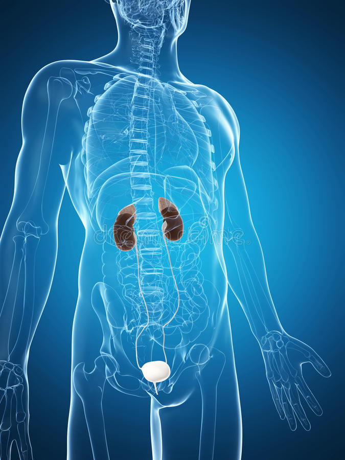 Download Male Kidneys Stock Photography - Image: 28962182