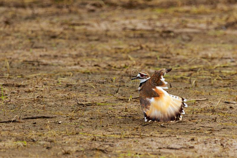 The Dance Of Love. This male Killdeer Bird at Bald Knob Wildlife Refuge in Bald Knob, Arkansas has chose his nesting territory and is now doing a mating dance royalty free stock image