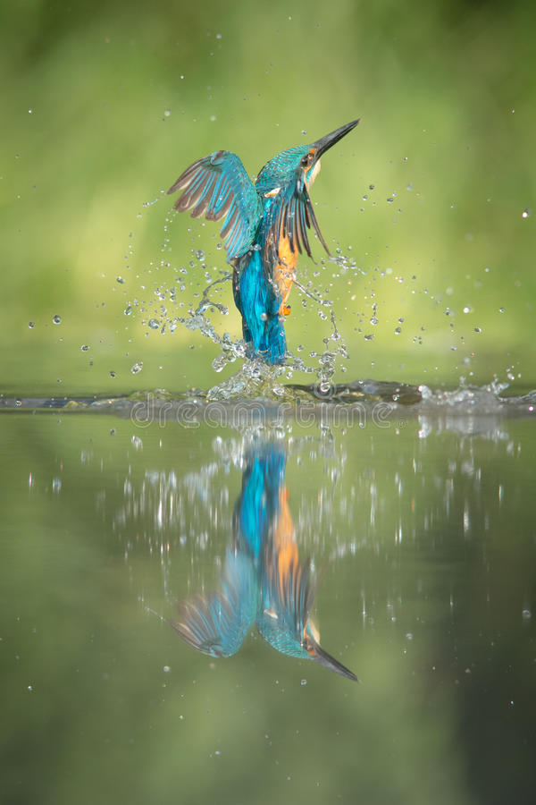 Male Kingfisher stock images