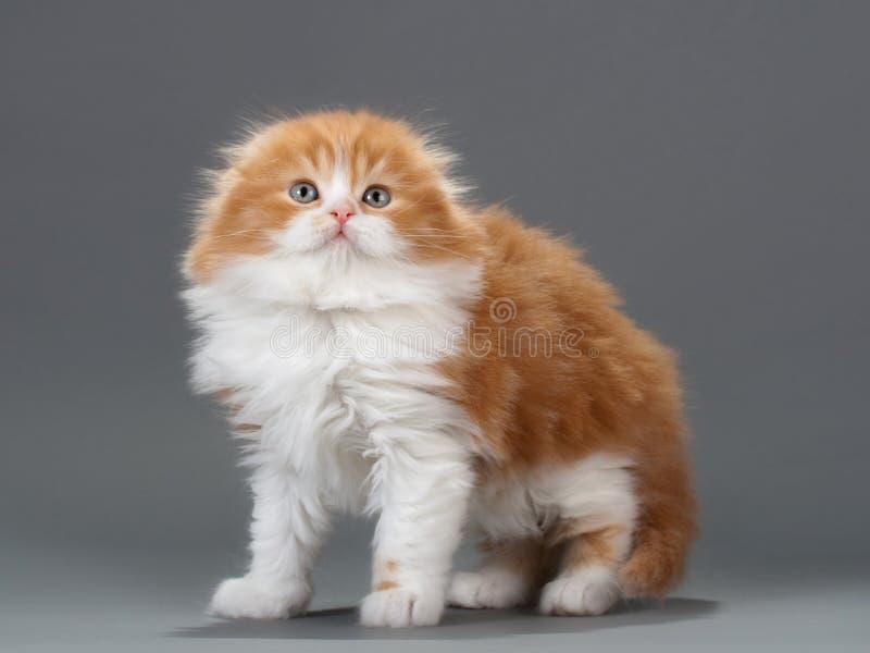 Download Male Kitten Scottish Fold Breed Stock Image - Image: 13107235