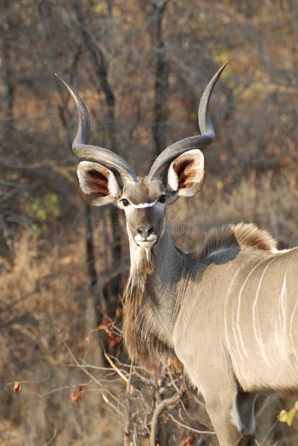 Male kudu. At Kruger National park, South Africa stock images