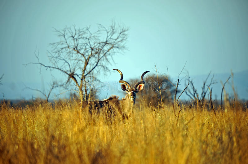 Download Male Kudu Antelope stock image. Image of large, mammal - 26961169
