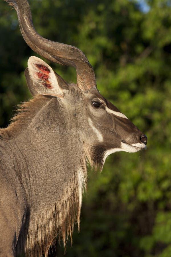 Download Male Kudu Antelope _ Botswana Stock Image - Image: 24996211