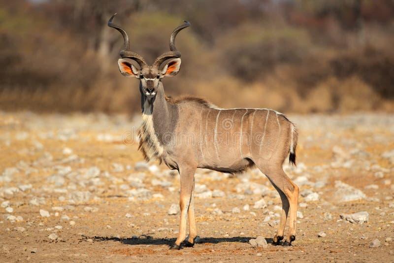 Male Kudu antilop royaltyfri bild
