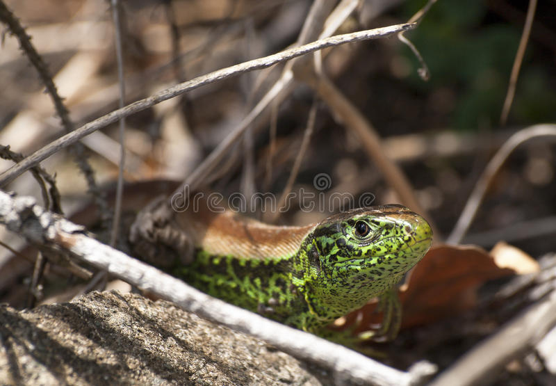 Download Male Lacerta Agilis Chersonensis Stock Photo - Image: 31329436