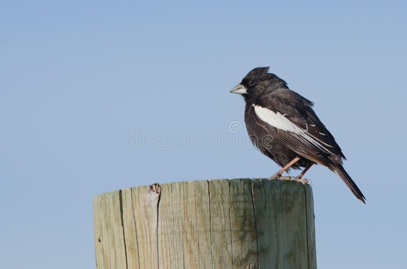 Male Lark Bunting. Lark bunting on post, state bird of Colorado stock photos