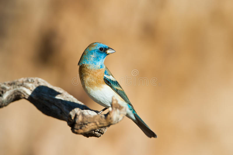 Male Lazuli Bunting. Adult Male Lazuli Bunting Perched on Old Tree Branch stock photography