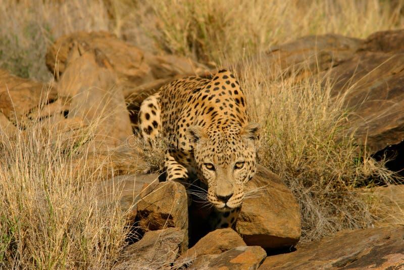 Male Leopard Stock Photo