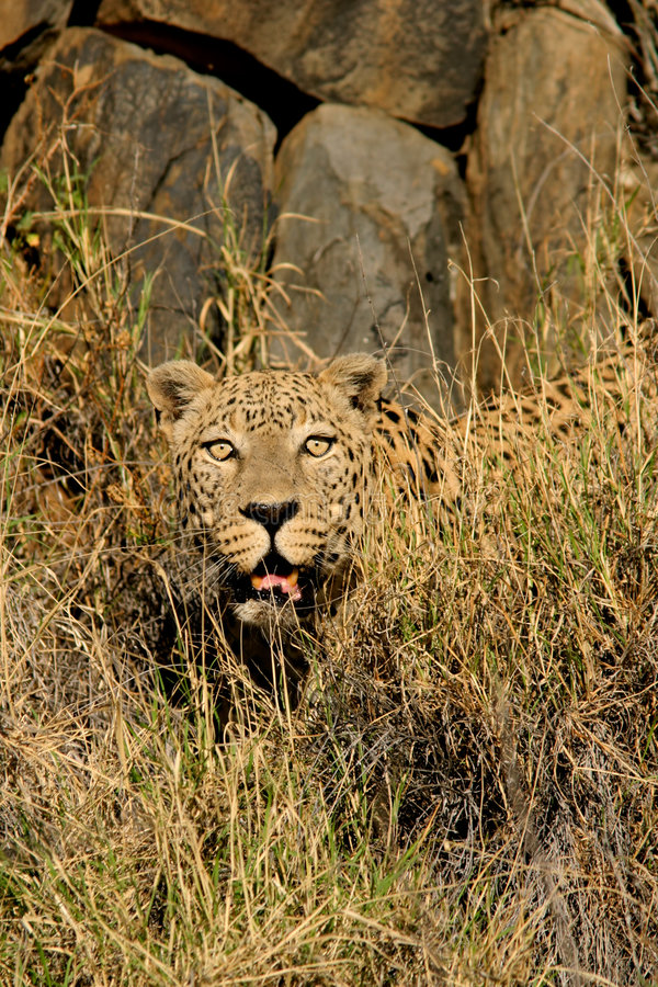 Download Male Leopard Royalty Free Stock Image - Image: 8182746