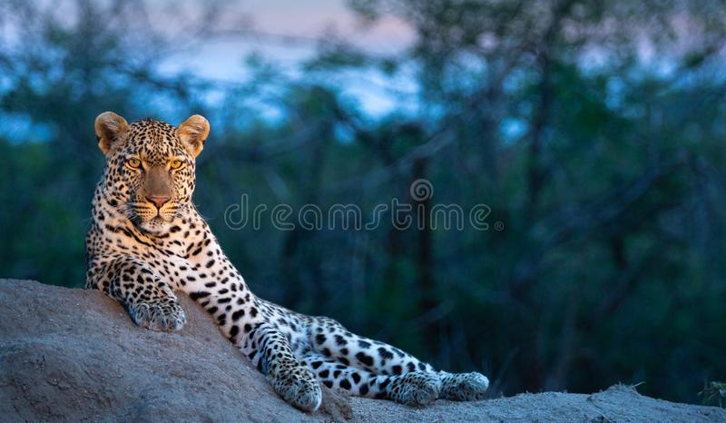 A male leopard enjoying a vantage point at dusk stock image