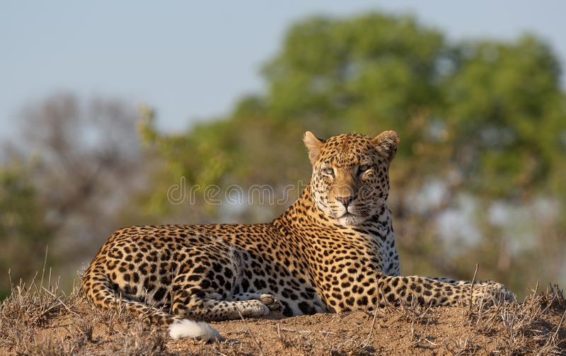 Male leopard with an eye level view in good light royalty free stock photos