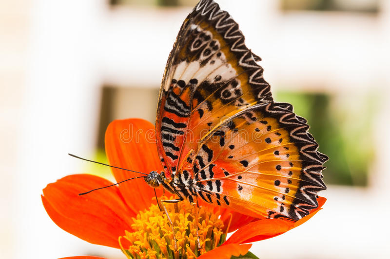 Male leopard lacewing butterfly. Close up of male leopard lacewing (Cethosia cyane euanthes) butterfly feeding on zinnia flower royalty free stock photo