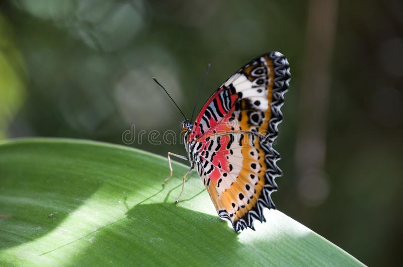 Male leopard lacewing butterfly in garden royalty free stock images