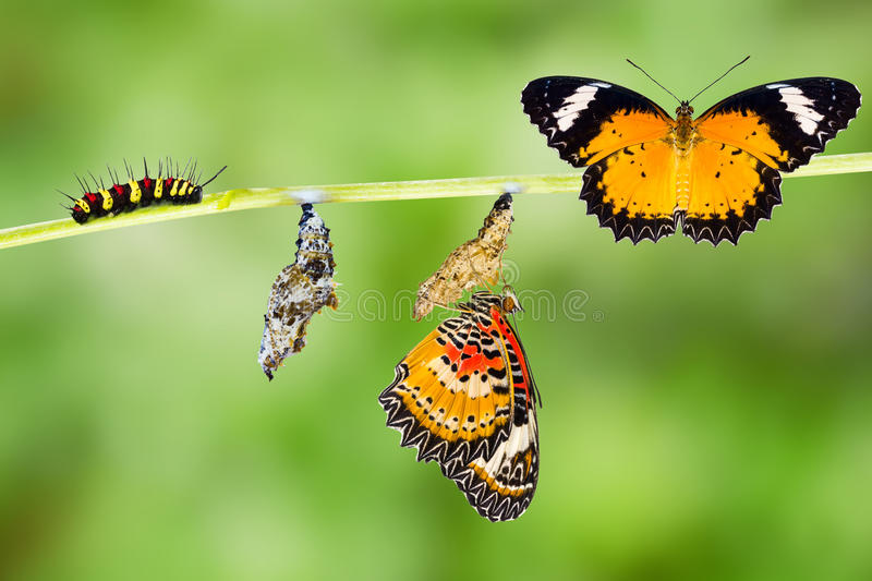 Male Leopard lacewing butterfly life cycle. Male Leopard lacewing Cethosia cyane euanthes butterfly , caterpillar, pupa and emerging with clipping path stock photo