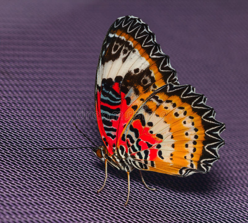 Male of Leopard lacewing butterfly. Resting on net royalty free stock photos