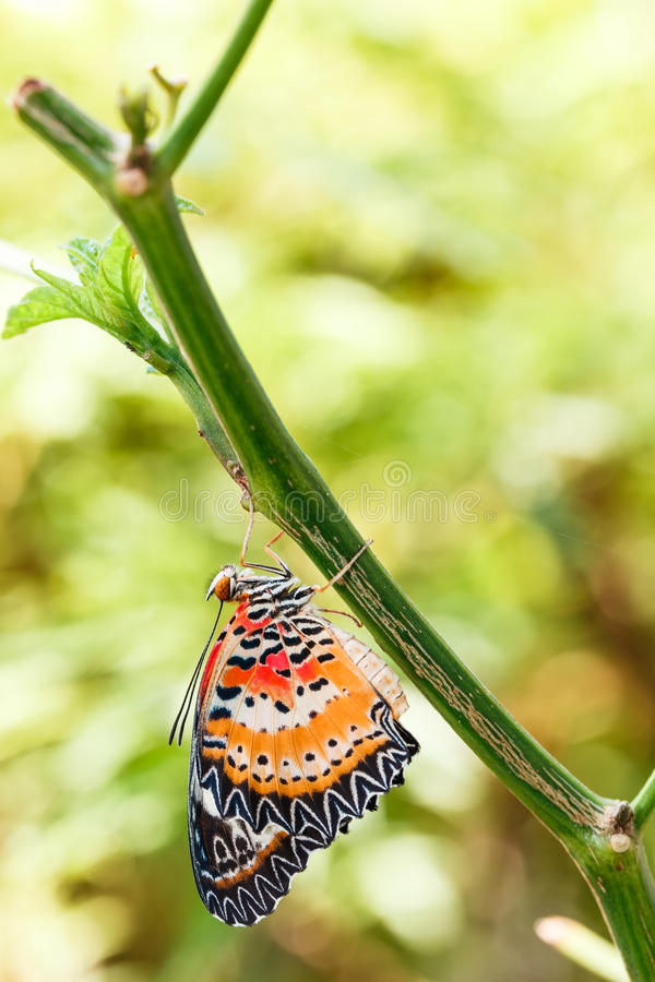 Male Leopard lacewing & x28;Cethosia cyane euanthes& x29; butterfly hangin. G under plant royalty free stock images