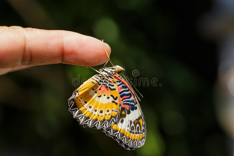 Male Leopard lacewing (Cethosia cyane euanthes) butterfly. Hanging on finger stock photo