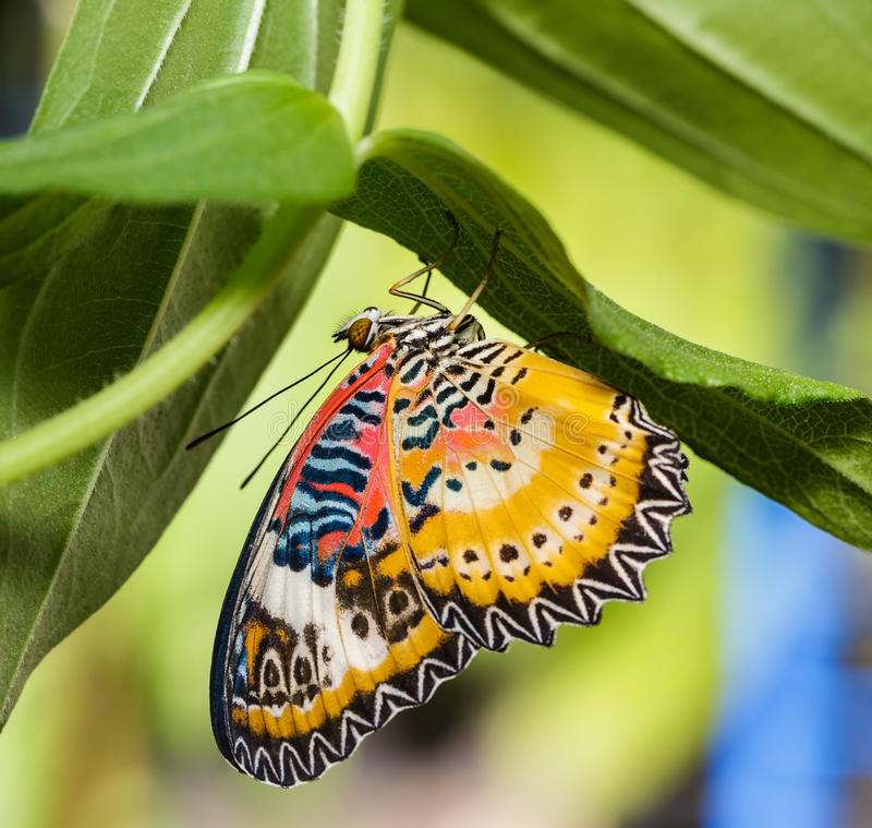 Male Leopard lacewing (Cethosia cyane euanthes) butterfly. Hanging under plant stock photo