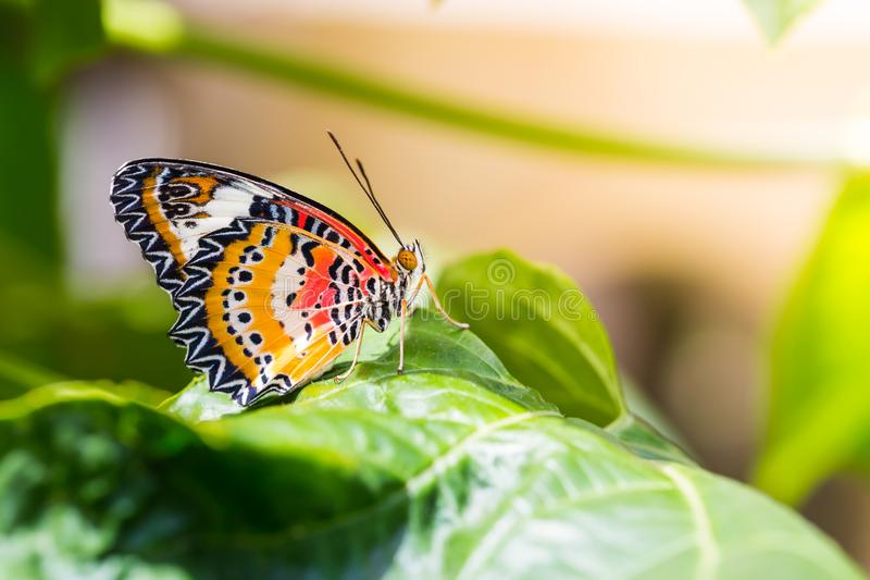 Male leopard lacewing Cethosia cyane euanthes butterfly. Butterfly in nature, close up of male leopard lacewing Cethosia cyane euanthes butterfly perching on stock photo