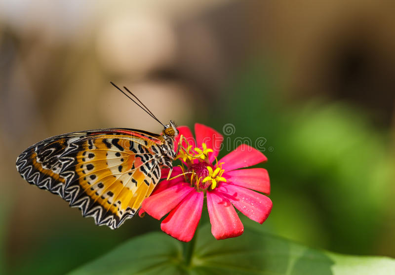 Male Leopard lacewing (Cethosia cyane euanthes) butterfly. Resting on flower stock photography