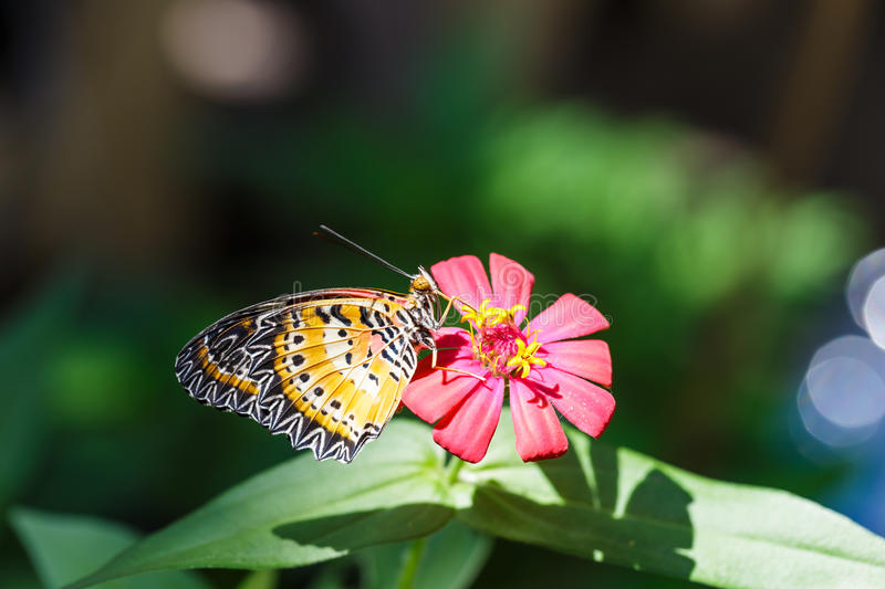 Male Leopard lacewing (Cethosia cyane euanthes) butterfly. Resting on flower royalty free stock photos