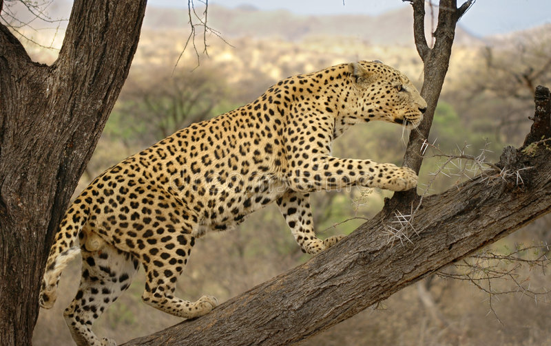 Male Leopard Namibia. Big male leopard in the wild, spotted near Etosha park Namibia