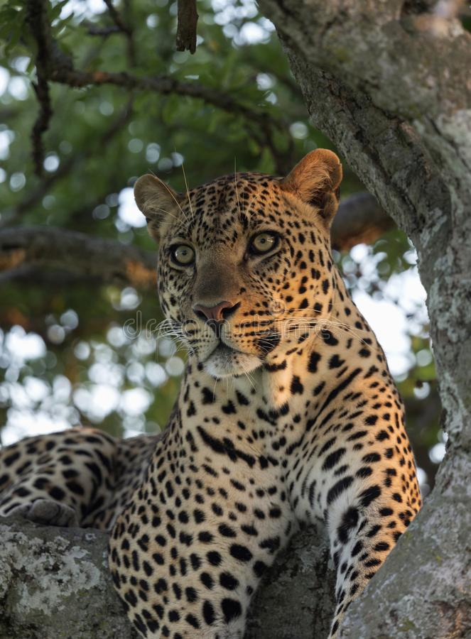 Male leopard sitting on a tree, Masaimara, Africa royalty free stock photography