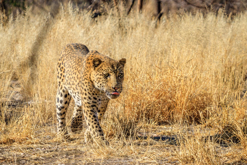 Male Leopard walking along a track in Namibia, Africa royalty free stock photography