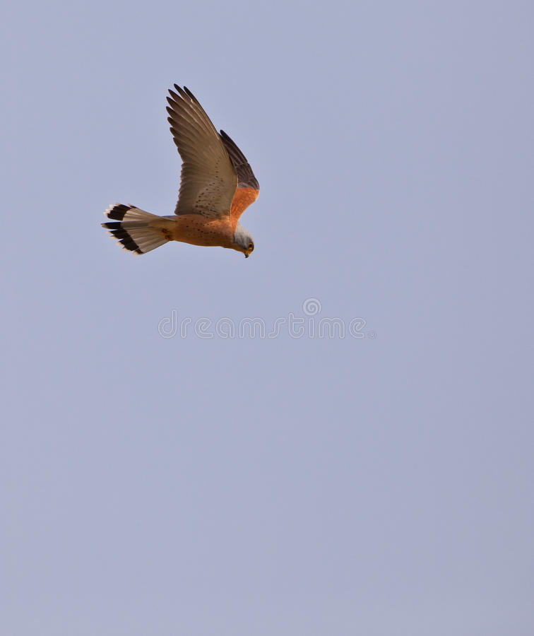 Male Lesser Kestrel on flight. A male Lesser Kestrel (Falco naumanni) has a watchful eye on any event below him royalty free stock images