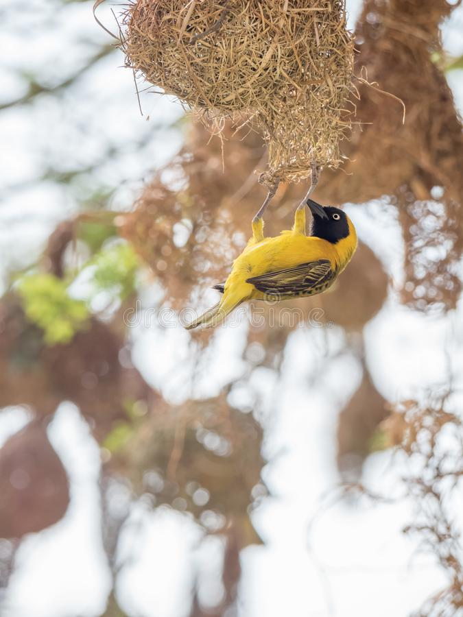 A male Lesser Masked Weaver Bird building a nest in South Africa. The lesser masked weaver is common and widespread in Acacia savanna, open woodland, riverine stock images
