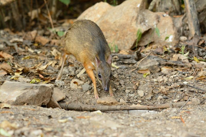 Lesser Mouse Deer Baby
