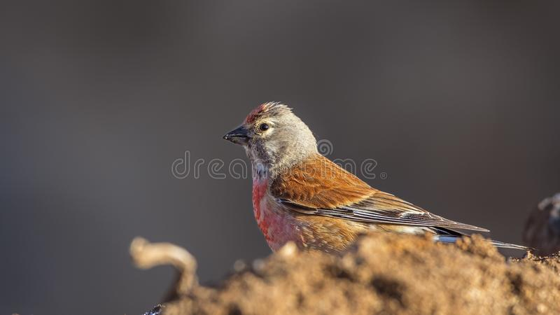 Male linnet on Top of Soil royalty free stock images