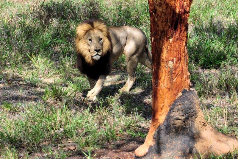 Download Male lion stock image. Image of predator, tawny, animal - 12078317