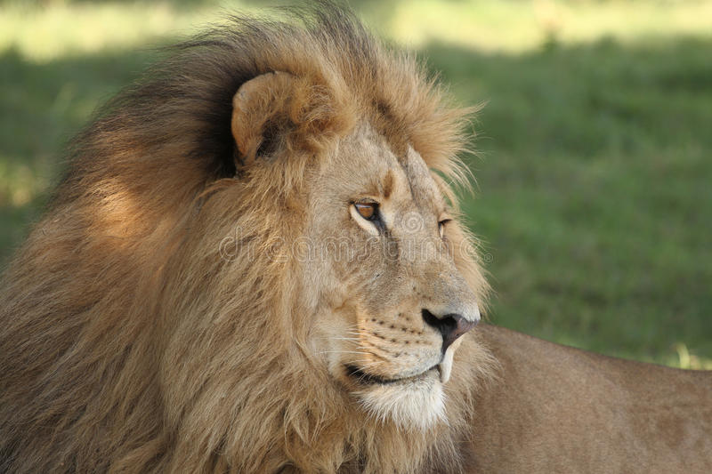 Download Male Lion stock image. Image of wildlife, resting, close - 15410317